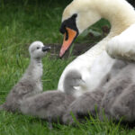 Courtesy of Cuan Wildlife Rescue - Cygnet and Swan