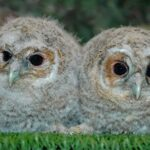 Courtesy of Cuan Wildlife Rescue - Two Tawny Owlets